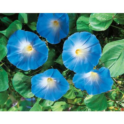Heavenly Blue Morning Glory Seeds Home Depot
